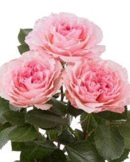 Mayra Pink